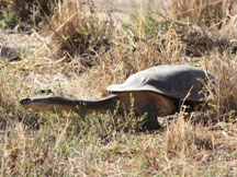 Broad Shelled Turtle