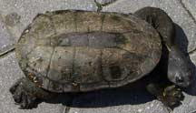 Northern Snake-necked Turtle