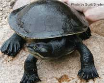Krefft's River Turtle