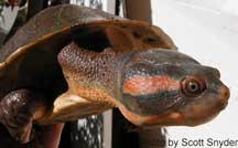 Northern Red-faced Turtle