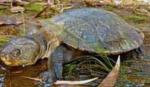 Saw-shelled Turtle (QLD)
