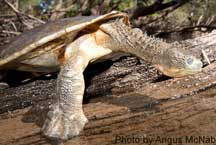 Fitzroy River Turtle