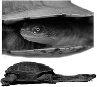 Long necked turtles
